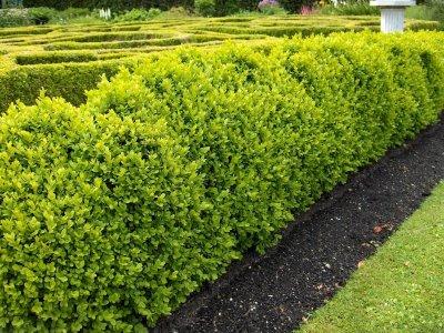buxus_hedge_01