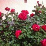 Розы озеленение участка фото
