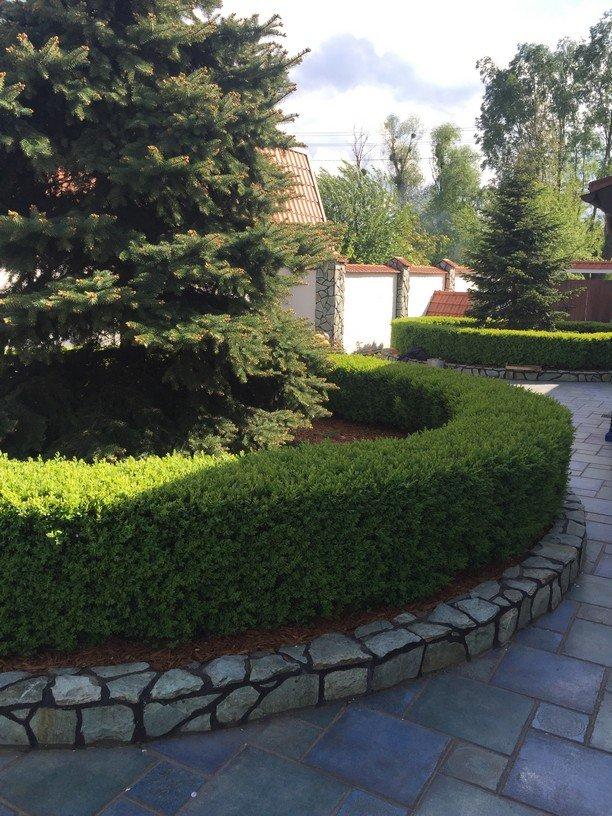 Большая ель в окружении хоженого самшита - Наши Работы - КиевСад