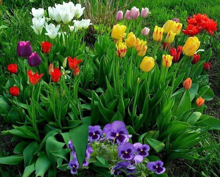 клумбы с тюльпанами фото