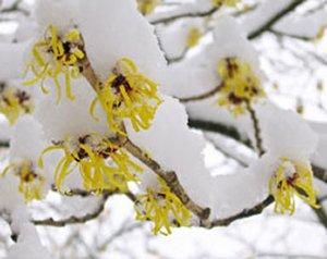 По строкам цветения древесные породы