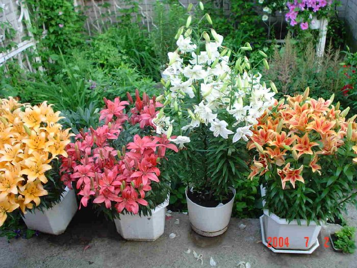 Лилии карликовые фото