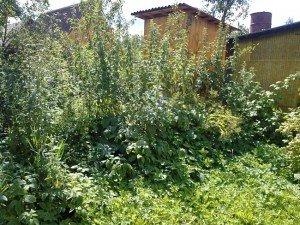 сорняки во дворе