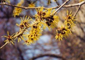 Гамамелис цветение
