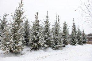 Посадка хвойных зимой