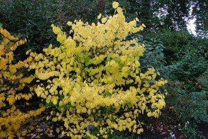 Hamamelis virginiana. Гамамелис виргинский. Осень.