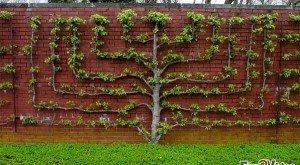 Пальмета Варье возле стены