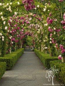 Розовая аллея.