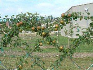 Сетчатая пальмета из яблони