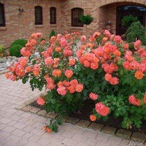Роза кустовая Вестерленд (Westerland)