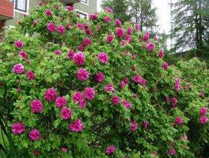 Роза морщинистая hansa