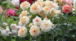 роза флорибунда Angie delchacre