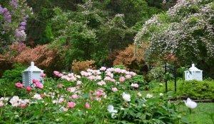 Пионы в пейзажном саду
