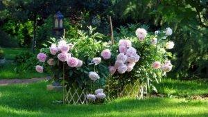 """Пион молочноцветковый """"Sarah Bernhardt"""""""