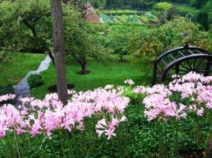 Ликорис чешуйчатый в саду