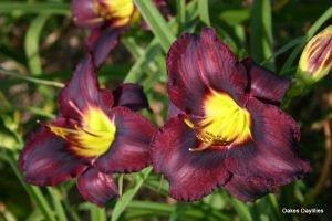 Лилейник Black Ambrosia