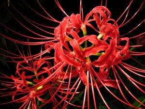 Паучья красная лилия