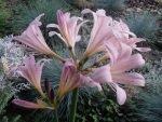 Загадочные цветы ликориса