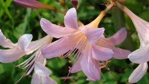 Цветы. Ликорис чешуйчатый 1