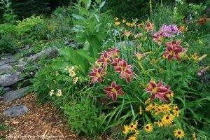 лилейники в пейзажном саду