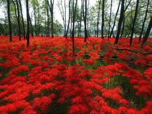 Kinchakuda Red Spider Lily Park