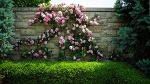 Розы на заборе