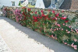 розы вдоль каменного забора