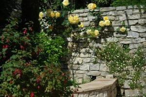 розы у подпорной стенки