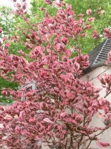 Бук лесной Fagus sylvatica 'Tricolor'