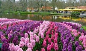 Гиацинты в Keukenhof. Парк цветов в Нидерландах