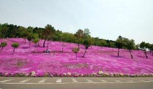 Розовый сад на Хокайдо. Япония.