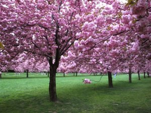 Цветение декоративной вишни
