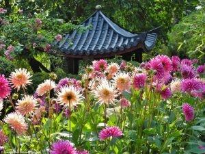 георгины в розовом саду