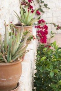теплолюбивые растения. Греческий сад