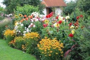 Георгины-–-королевы-осеннего-сада