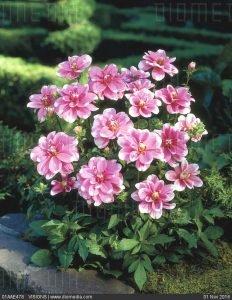 01AAE478; Dahlia decorative Niigata