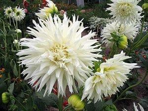 5 прямые кактусовые георгины. Заснеженная Русь