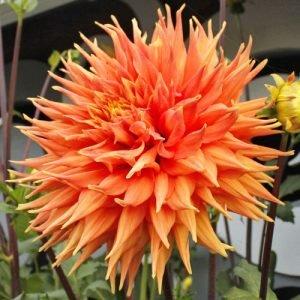 5 прямые кактусовые георгины. С