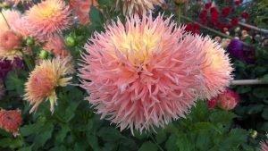 5 прямые кактусовые георгины.Dahlia Maggie C