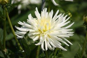 6 Хризантемовидный георгин Nivea