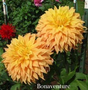 9 Декоративные махровые георгины Bonaventure