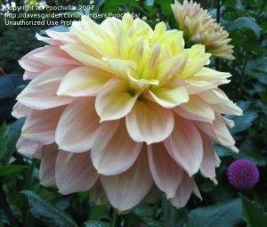 9 Декоративные махровые георгины 'Wyn's N.E.W. Pastel