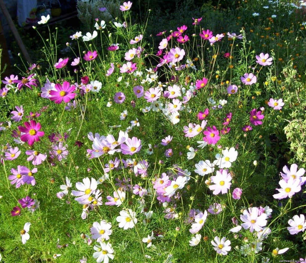 Однолетние цветы, цветущие все лето - название и фото 62