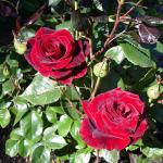 Любимые розы в саду
