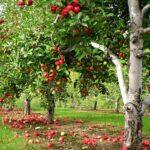 Осенний уход за фруктовым садом